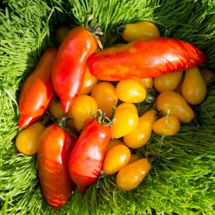Урожайный сезон: помидоры